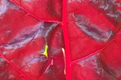Mangold - Regenbogen