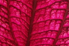 Leuchtender Mangold