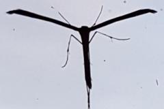 Federgeistchen (Alucitidae)