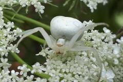 Veränderliche Krabbenspinne (Misumena vatia) auf Wilder Möhre