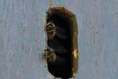 Das Hornissenhaus ist mit Wespen bewohnt