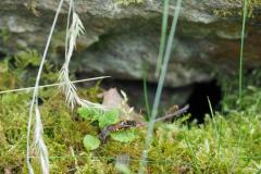 Feldwespe erforscht die Trockenmauer